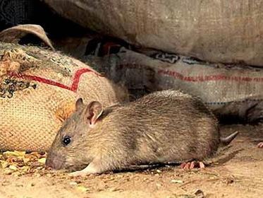 Крысы на кухне, черви в тарелке